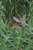 White-tailed deer fawn hiding in grass.