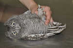 Recently banded juvenile Eastern Screech-owl