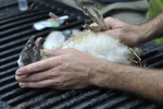 Juvenile Turkey Vulture ready for banding and taking a blood sample to check for heavy metals