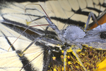 Wheel Bug feeding on recently caught tiger swallowtail butterfly