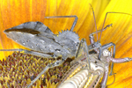 Wheel Bug feeding on recently caught grasshopper