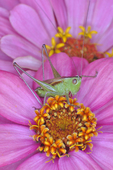 Meadow Katydid on zinnia flower