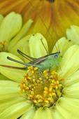 Meadow Katydid on zinnia flower