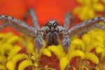 Grass Spider on zinnia flower