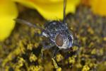 Flesh Fly on sunflower