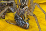 Female Rabid Wolf Spider with flesh fly prey