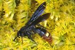 Digger Wasp feeding on goldenrod flowers