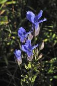 Fringed Gentian flower