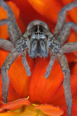 Female Wolf Spider face-to-face