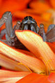 Female Wolf Spider hiding behind flower petal