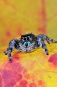 Male Daring/Green-jawed Jumping Spider on red maple leaf