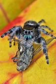 Male Daring/Green-jawed Jumping Spider with fly prey on red maple leaf