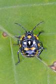 Harlequin Bug nymph