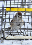 American Tree Sparrow in Potter Trap