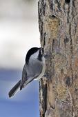 Carolina Chickadee at peanut butter/suet bird feeder