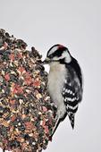 Male Downy Woodpecker feeding on wreath feeder