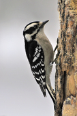 Female Downy Woodpecker feeding at peanut butter/suet bird feeder