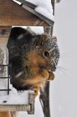 Eastern Fox Squirrel at bird feeder in winter