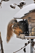 Eastern Fox Squirrel feeding at bird feeder