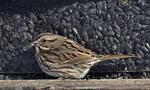 Song Sparrow at bird feeder