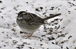 White-throated Sparrow feeding on sunflower seed on the ground