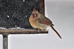 Female Northern Cardinal at bird feeder in the winter