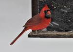 Male Northern Cardinal at bird feeder in winter