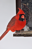 Male Northern Cardinal at bird feeder in winter
