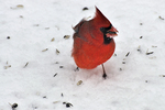 Male Northern Cardinal in the winter