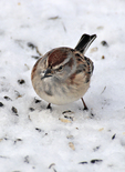 American Tree Sparrow searching for seeds in the snow