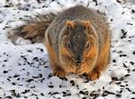 Eastern Fox Squirrel feeding on sunflower seeds fallen from a bird feeder
