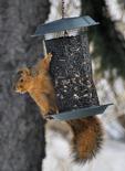 Eastern Fox Squirrel feeding on sunflower seeds at a bird feeder