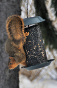 Eastern Fox Squirrel feeding on sunflower seeds at a bird feeder