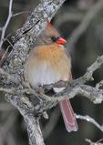 Female Northern Cardinal perched on tree limb