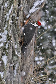 Pileated Woodpecker searching for food