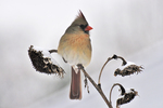 Female Northern Cardinal portrait