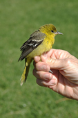 Banded female Orchard Oriole ready for release