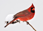 Male Northern Cardinal portrait in winter
