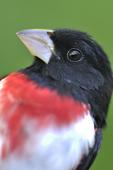 Male Rose-breasted Grosbeak beak