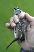 Recently banded hand-held White-crowned Sparrow