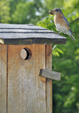 Eastern Bluebird on nest box with caterpillar in mouth