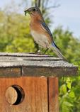 Eastern Bluebird on nest box with caterpillar
