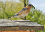 Eastern Bluebird on nest box roof with caterpillar in mouth