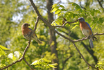 Male and female Eastern Bluebirds with food for babies