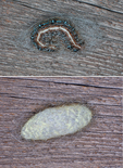 Eastern Tent Caterpillar before and 12 hrs. after beginning to weave silken cocoon