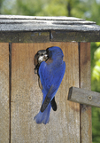 Eastern Bluebirds at nest box; male entering with food and female leaving with fecal sack