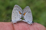 Eastern Tailed-blue Butterflies mating on finger
