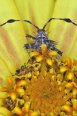 Spiny Assassin Bug nymph on a yellow zinnia flower