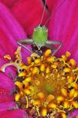 Meadow Katydid nymph face-to-face on zinnia flower