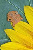 Monkey Slug larva stage of the Hag Moth